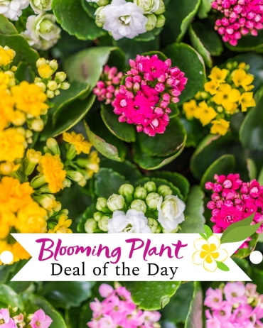 Blooming Plant Deal of the Day